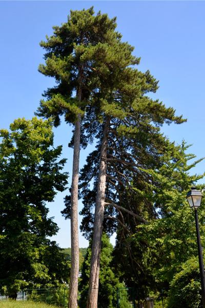 pin laricio de Corse