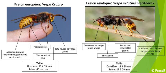 les différences entre frelon européen et frelon asiatique