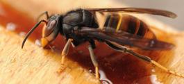 Protégeons nos abeilles contre les frelons asiatiques