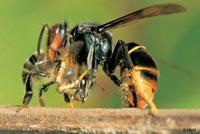 frelon mangeant une abeille